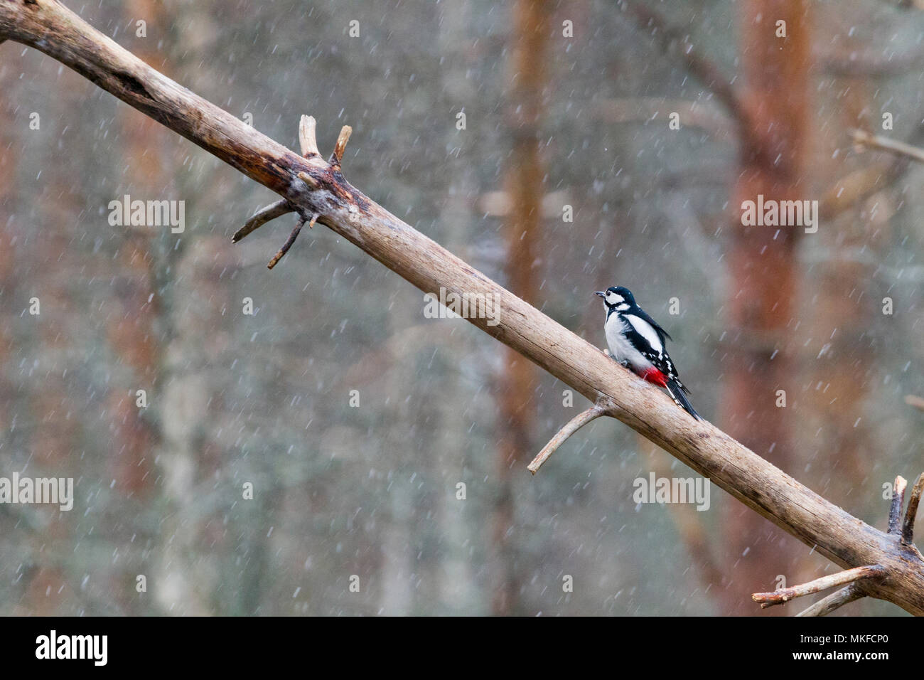 Great Spotted Woodpecker (Dendrocopos major) male on a trunk, Kajaani, Kuhmo area, Finland - Stock Image