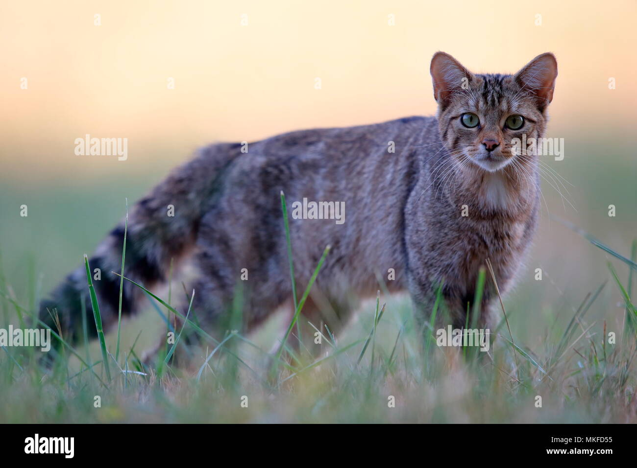 Wild cat (Felis silvestris) in intimidation. Vezelise, Lorraine, France - Stock Image