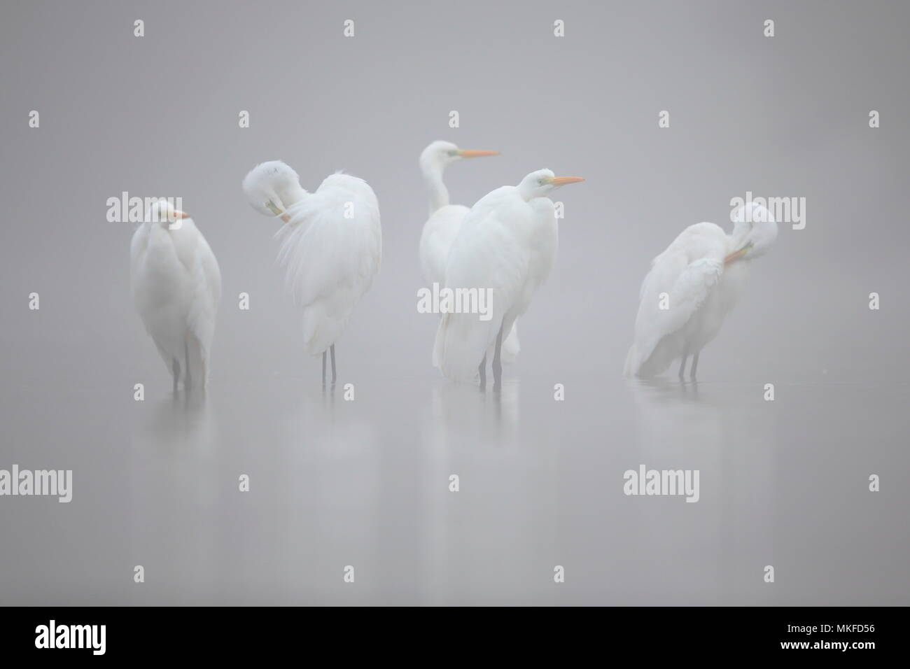 Great Egret (Ardea alba) in the mist. Wild Moselle, Vosges, France - Stock Image