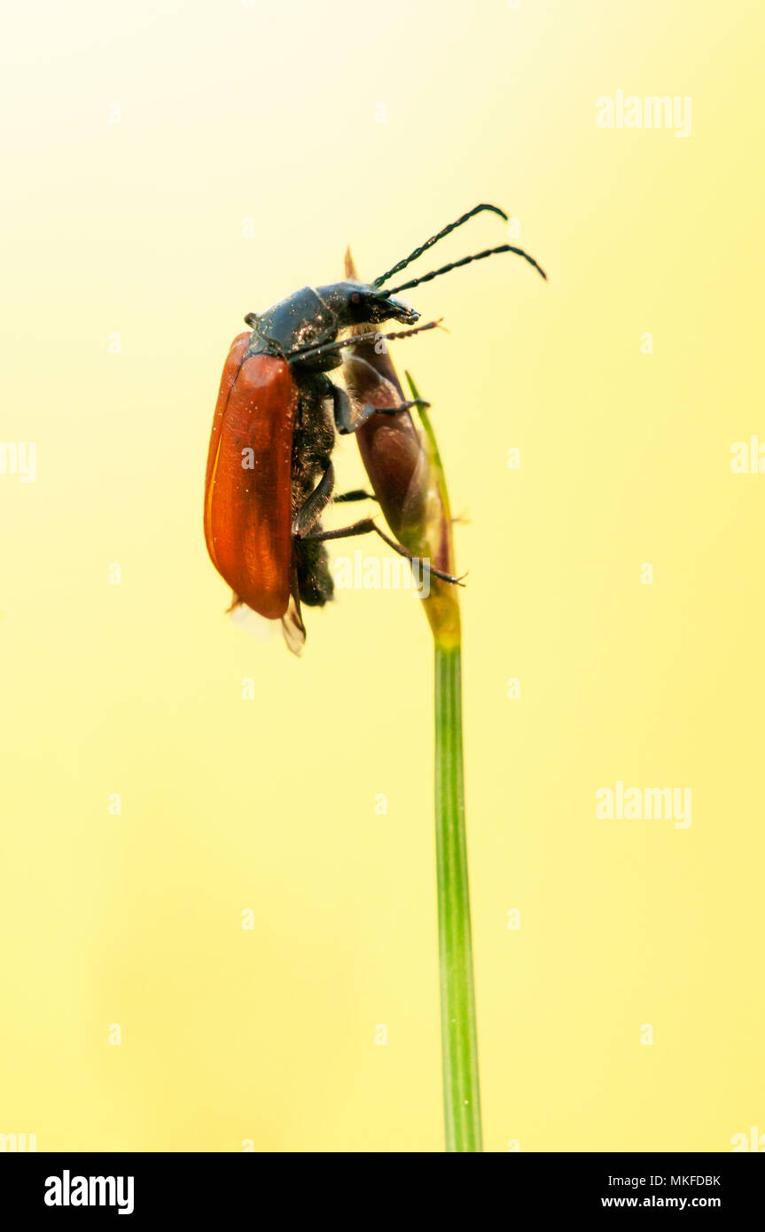 Comb-clawed beetle (Omophlus lepturoides) on the stem of an Aphyllanthes (Aphyllanthes monspeliensis) budding in spring, Dry lawn at the pass of a mountain, Drome, Rhone, Alps, France - Stock Image