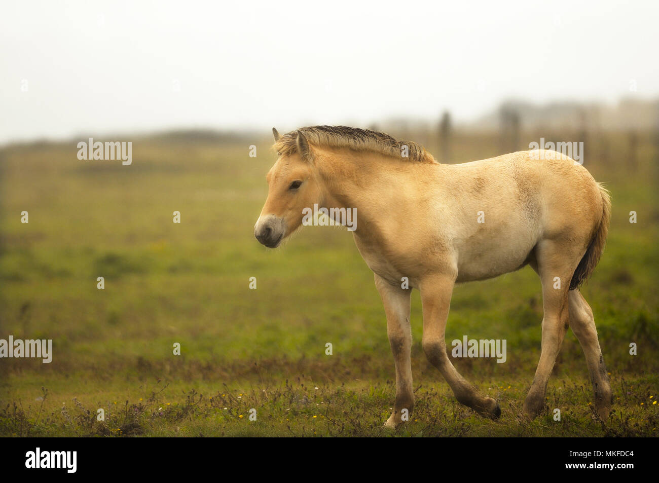 Henson foal under a drizzling late summer rain at Hâble d'Ault in Somme Bay, Picardie, France Stock Photo