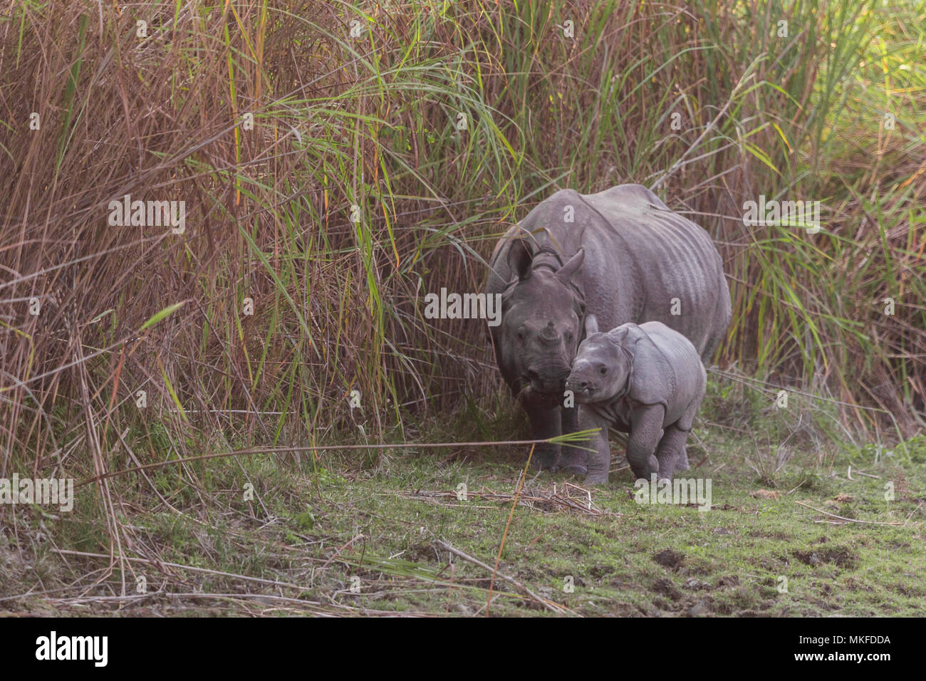 Asian One-horned rhino or Indian Rhinoceros or Greater One-horned Rhinoceros (Rhinoceros unicornis) mother and baby, Kaziranga National Park, State of Assam, India - Stock Image