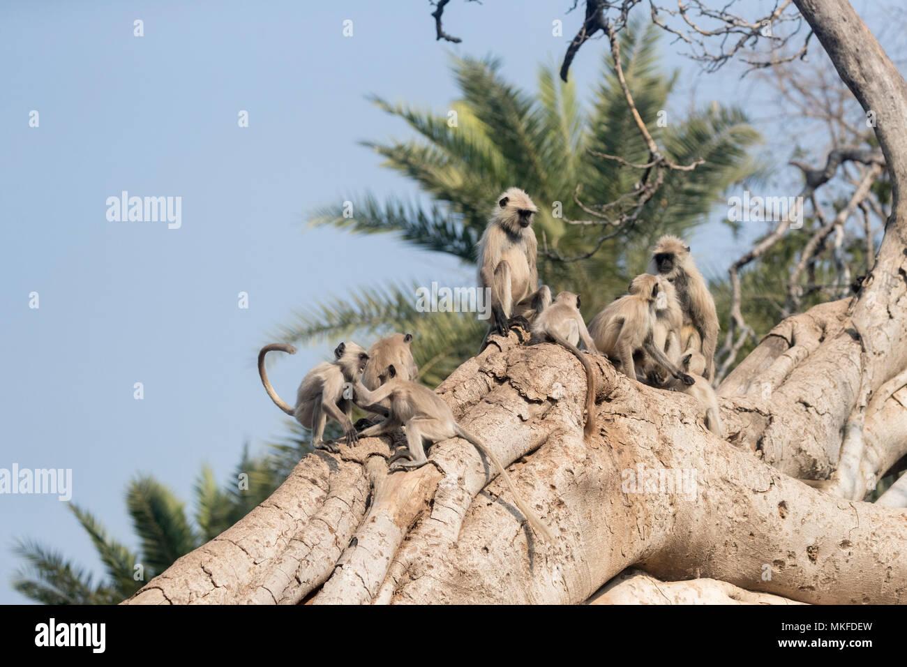 Northern plains gray langur or Hanuman Langur (Semnopithecus entellus), play in a Banyan Tree, Ranthambore National Park, Rajasthan, India - Stock Image