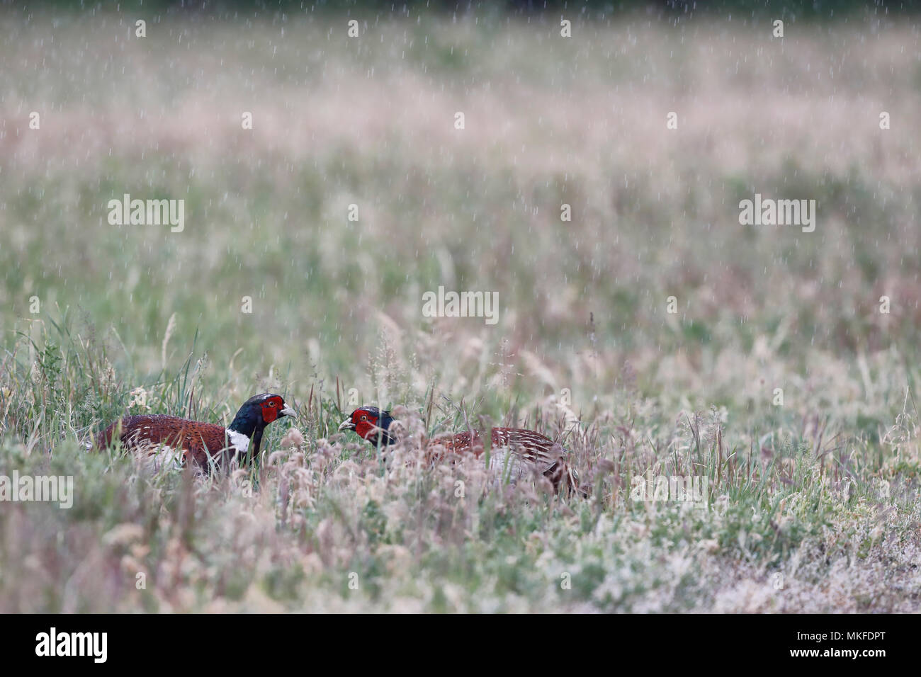 Ring-necked Pheasant (Phasianus colchicus) face to face in the rain, Dombes, France - Stock Image