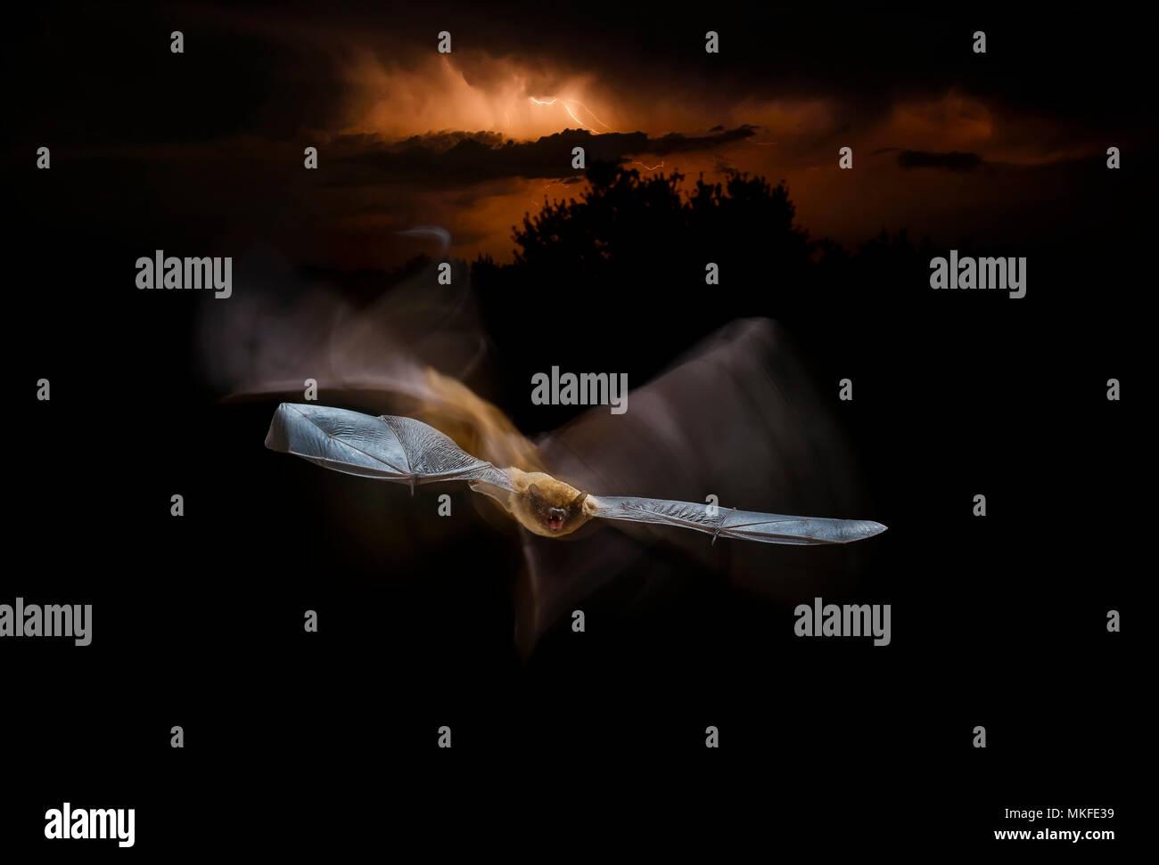 Common pipistrelle (Pipistrellus pipistrellus) in flight and thunderstorm, Salamanca, Castilla y León, Spain - Stock Image
