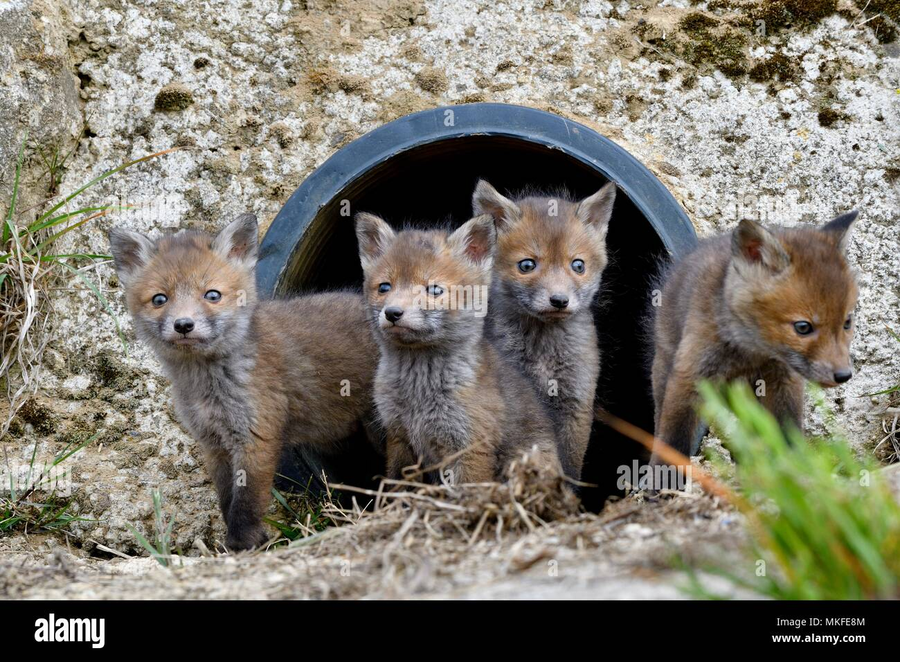 Red fox (Vulpes vulpes) youngs in a rainwater pipe collector, Doubs, Franche-Comte, France - Stock Image