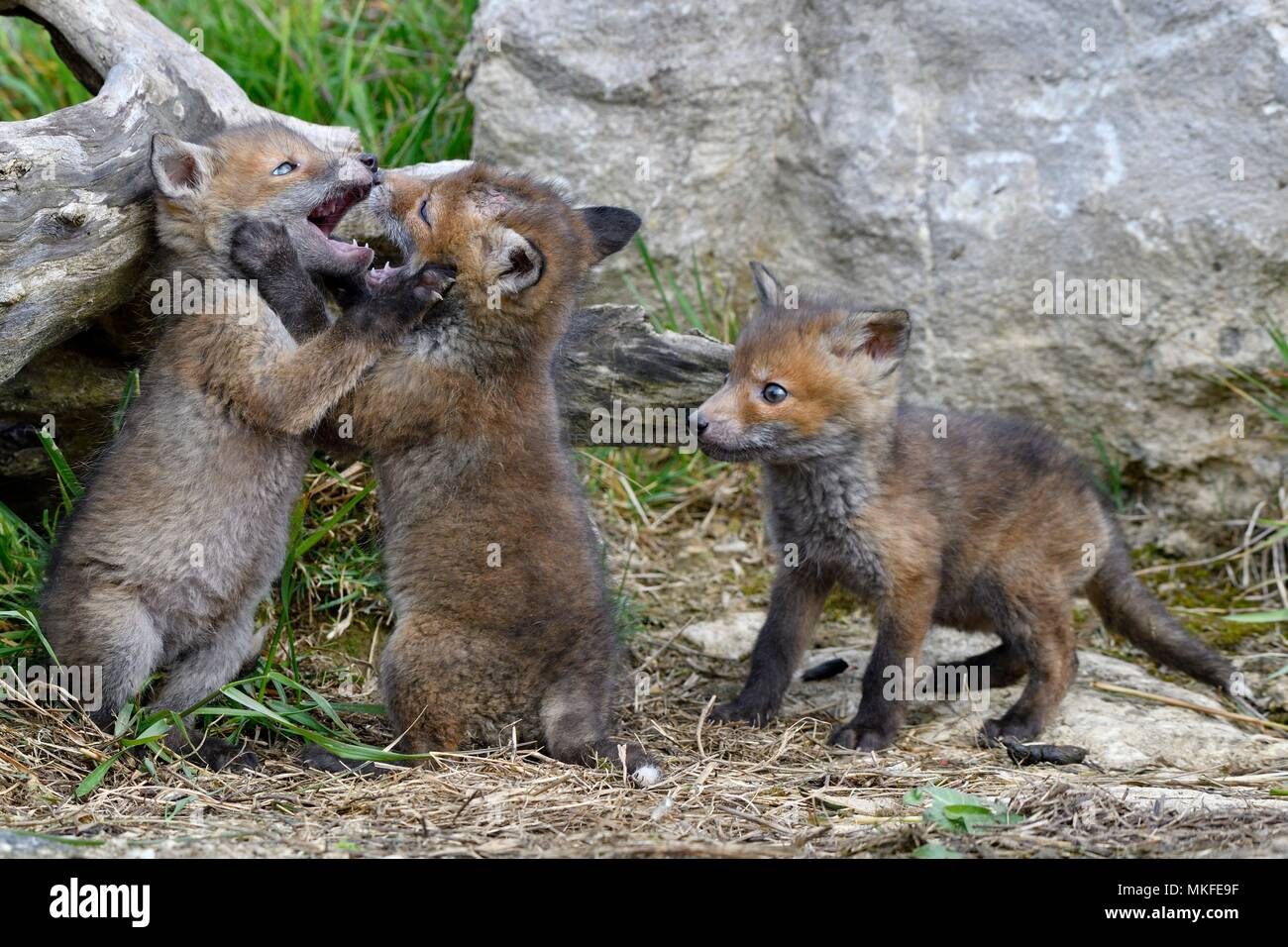 Red fox (Vulpes vulpes) young playing, Doubs, Franche-Comte, France - Stock Image