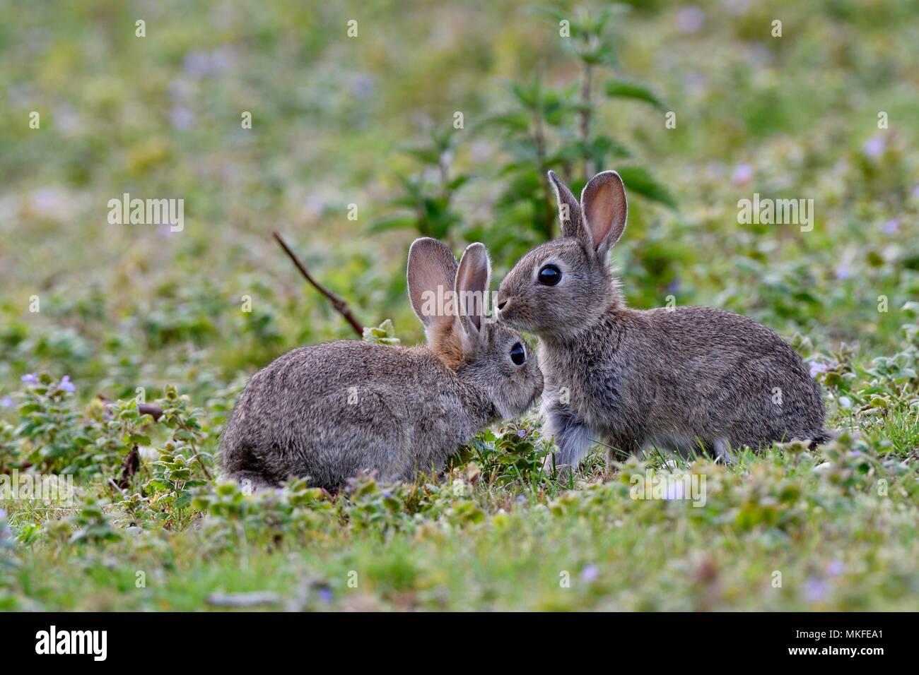 European rabbits (Oryctolagus cuniculus), Doubs valley, Franche-Comte, France - Stock Image