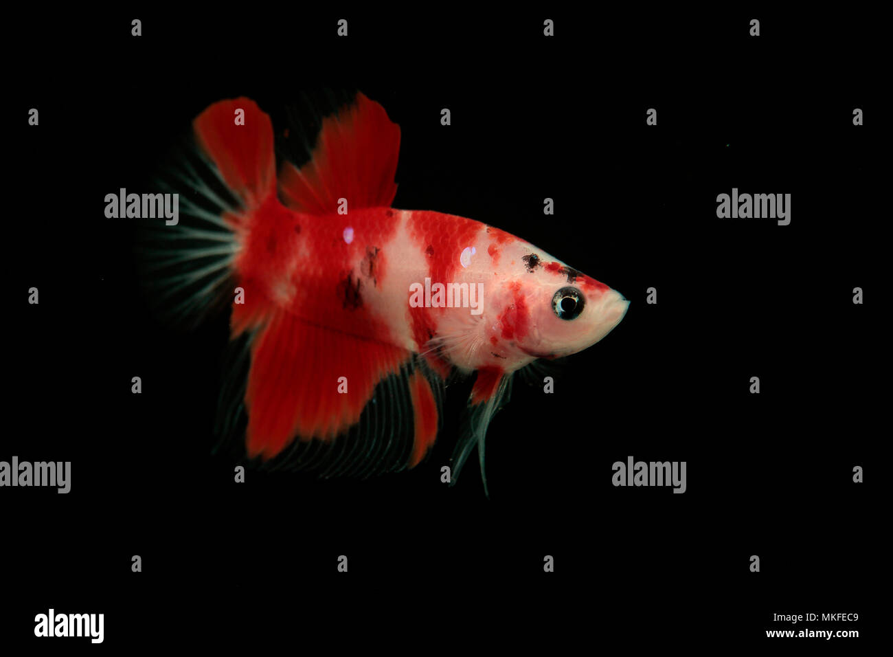 Betta 'Plakat Koi' Stock Photo