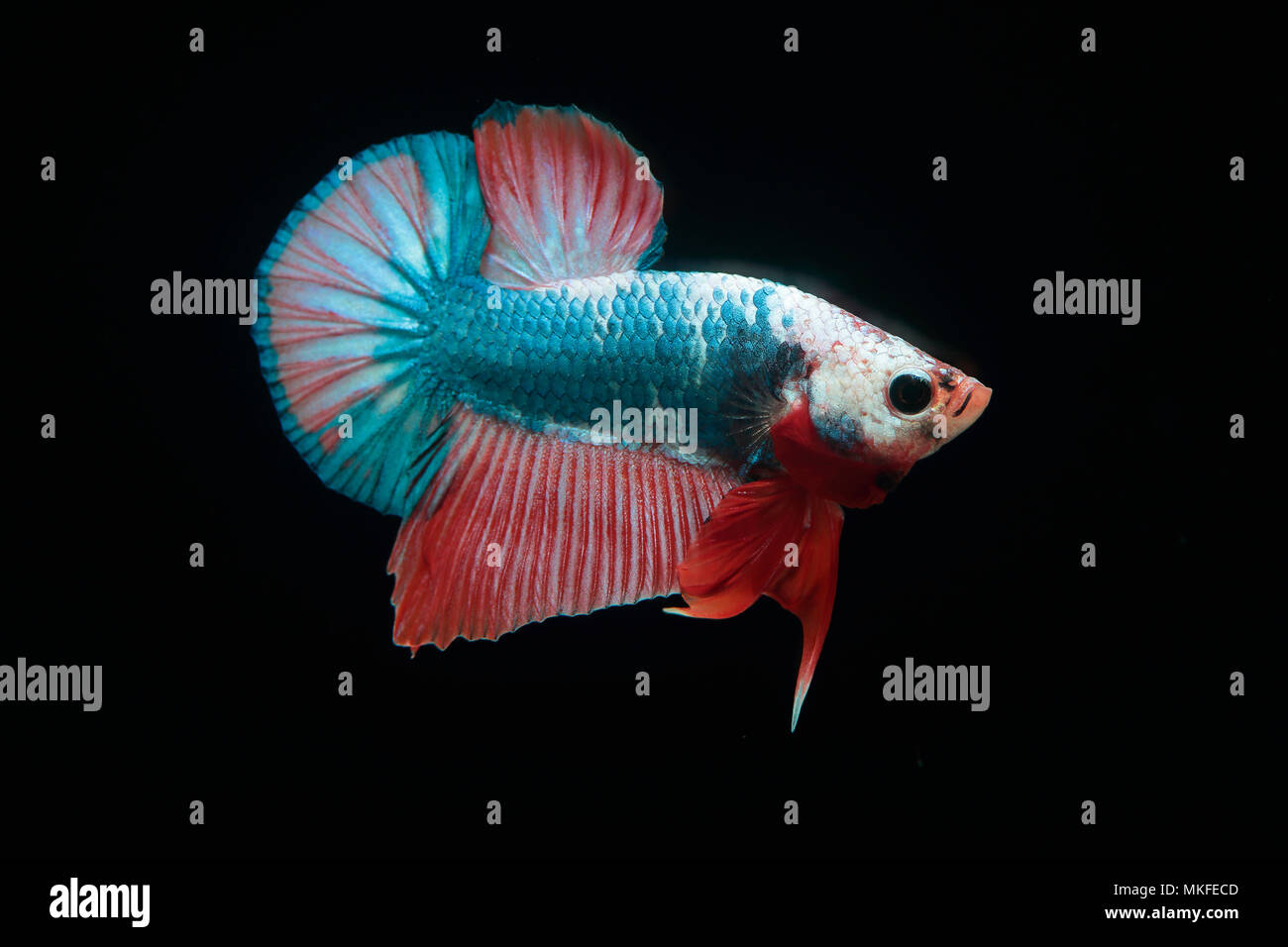 Betta 'Plakat Fancy' Stock Photo
