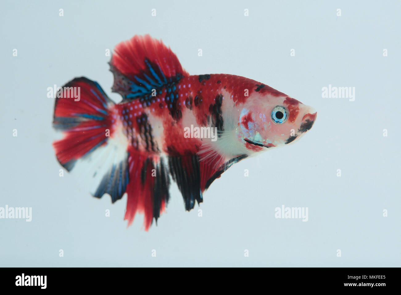 Betta 'Plakat Koi' Stock Photo