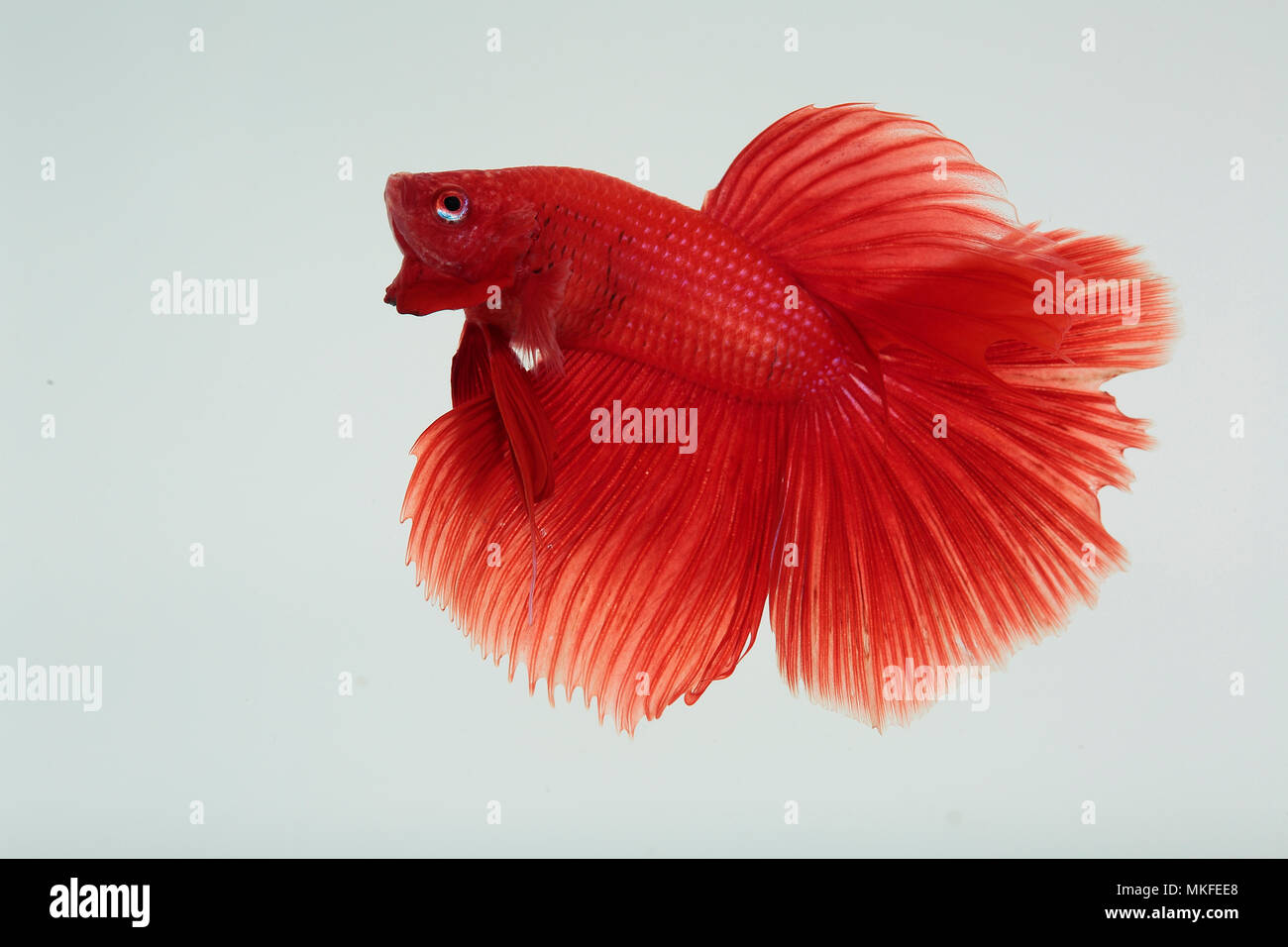 Betta 'Half Moon Red' male Stock Photo