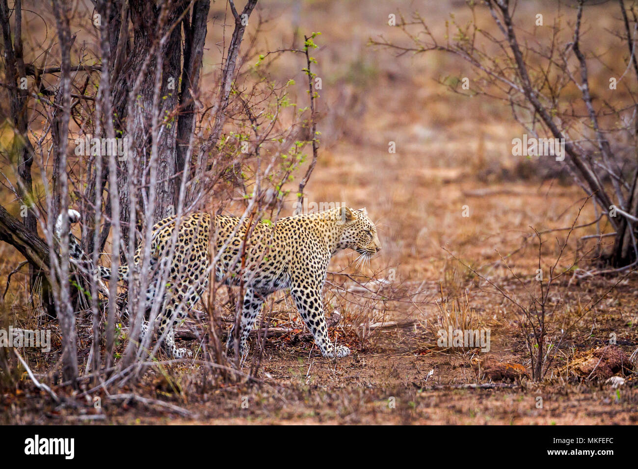 Leopard (Panthera pardus) in Yala national park, Sri Lanka - Stock Image