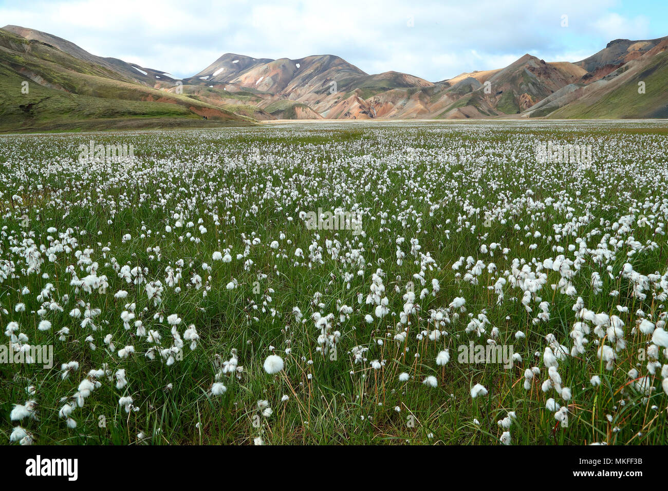 Scheuchzer's Cottongrass (Eriophorum scheuchzeri), Fjallabak National Park Landmannalaugar, Iceland Stock Photo