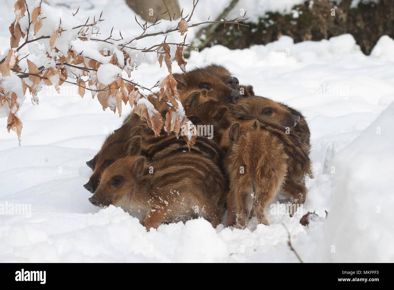 Wild boar (Sus scrofa) piglets in a snowy undergrowth, Ardennes, Belgium - Stock Image