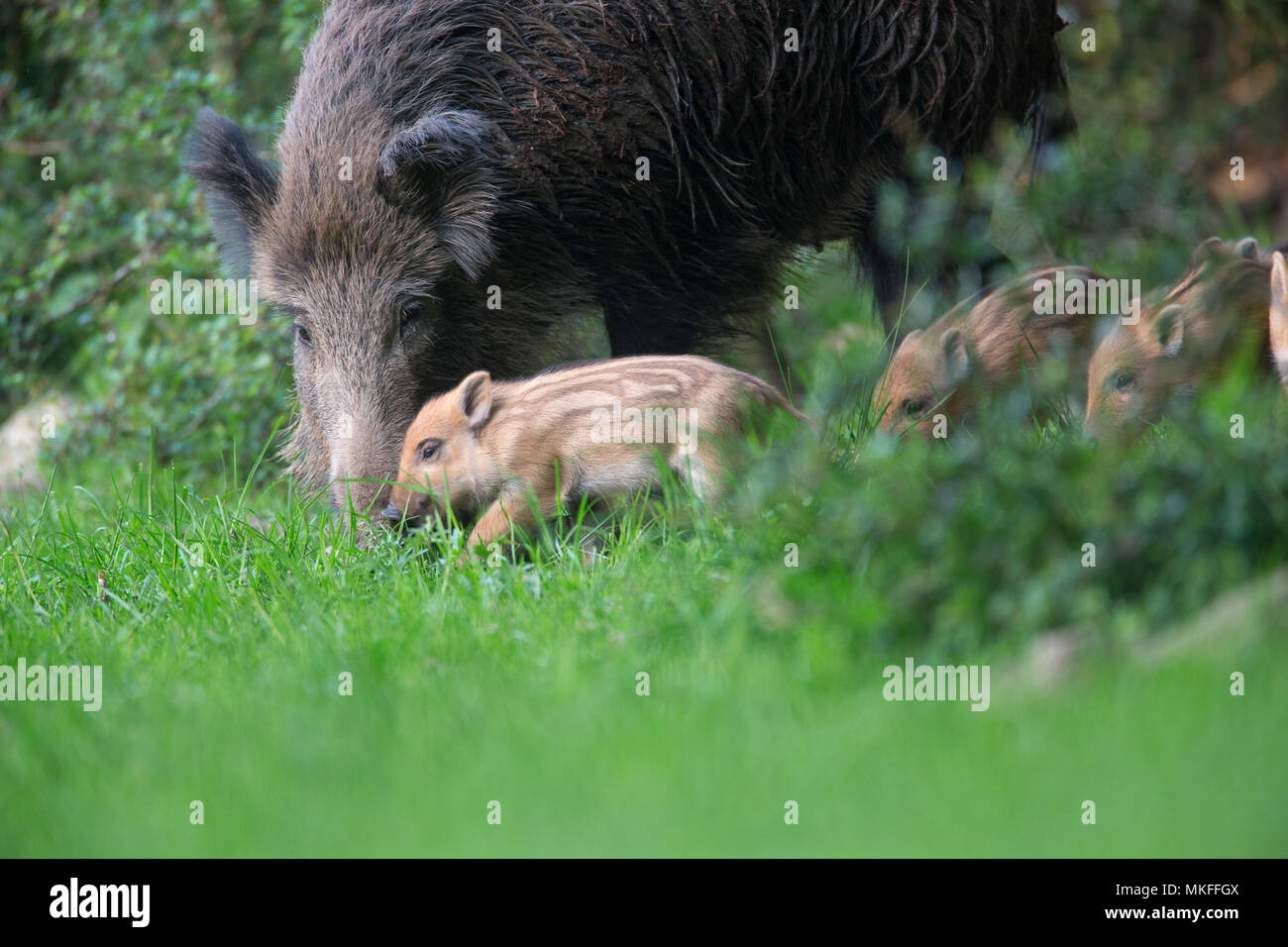Wild boar (Sus scrofa) sow and piglets in grass, Ardennes, Belgium - Stock Image
