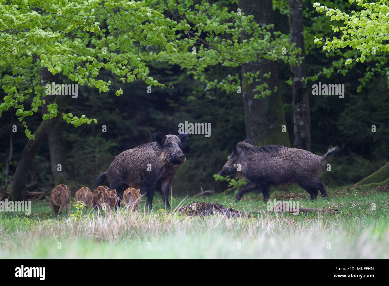 Wild boar (Sus scrofa) adults and piglets in a clearing, Ardennes, Belgium - Stock Image
