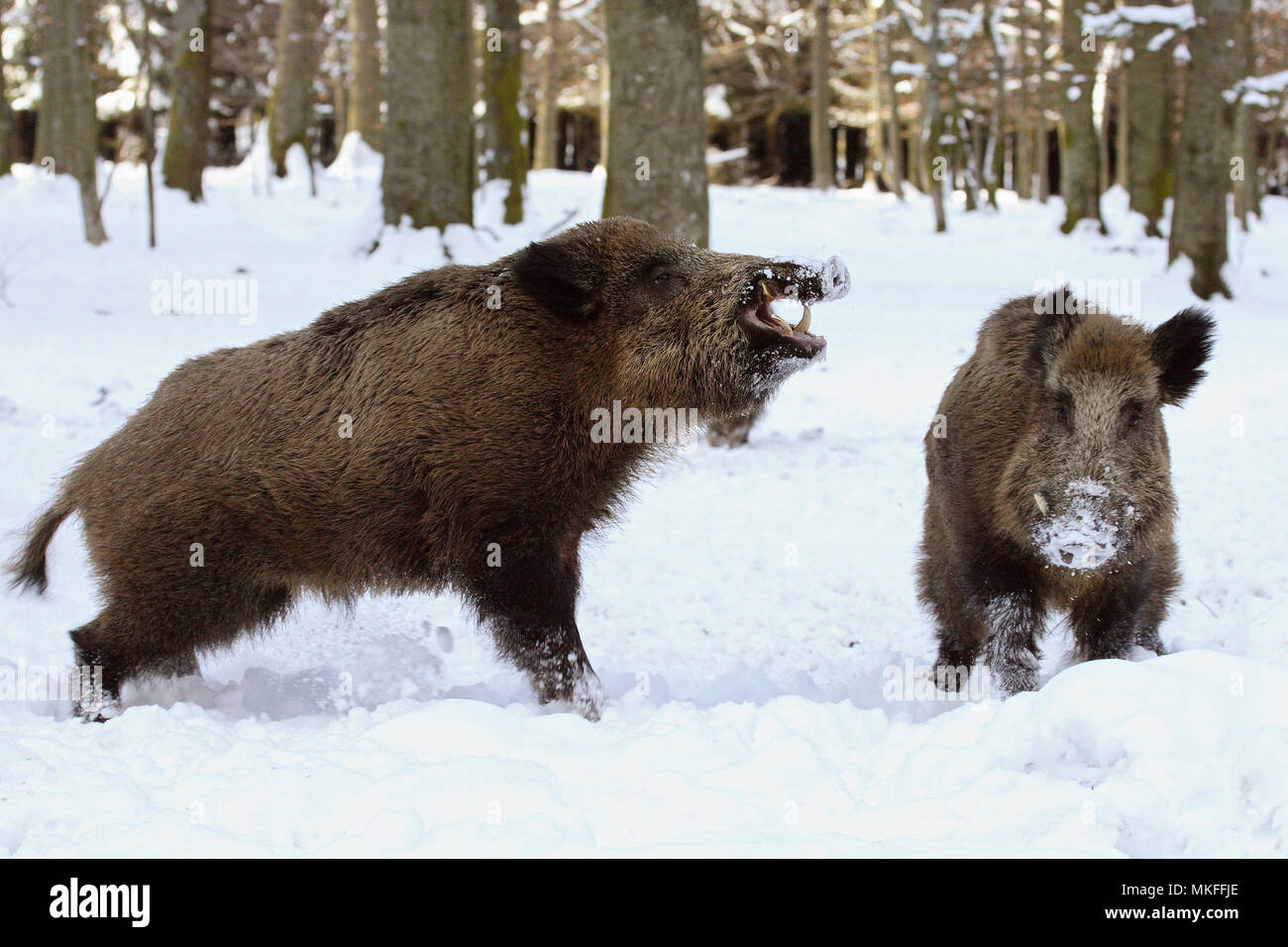 Wild boars (Sus scrofa) in a snowy undergrowth, Ardennes, Belgium - Stock Image