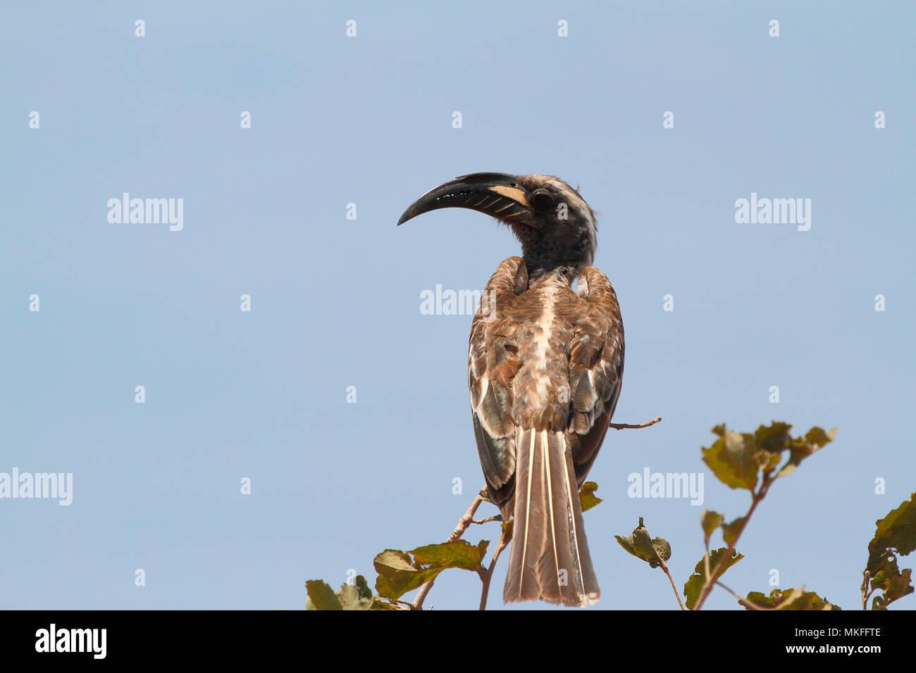 African Grey Hornbill (Tockus nasutus) male on a branch, Manyara, Tanzania - Stock Image
