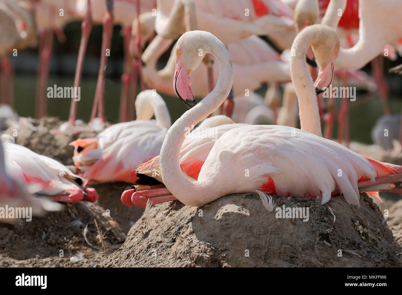 Greater Flamingo (Phoenicopterus roseus) brooding on mound, Tanzania - Stock Image
