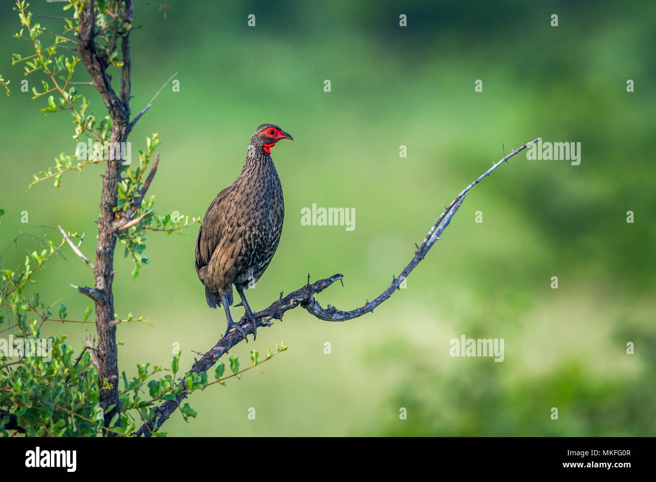 Swainson's Spurfowl (Pternistis swainsonii) on a branch, Kruger National park, South Africa - Stock Image