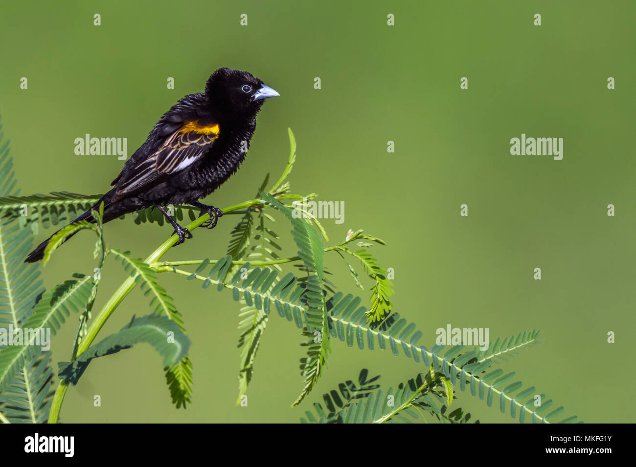 White winged Widowbird (Euplectes albonotatus) on a branch, Kruger National park, South Africa - Stock Image