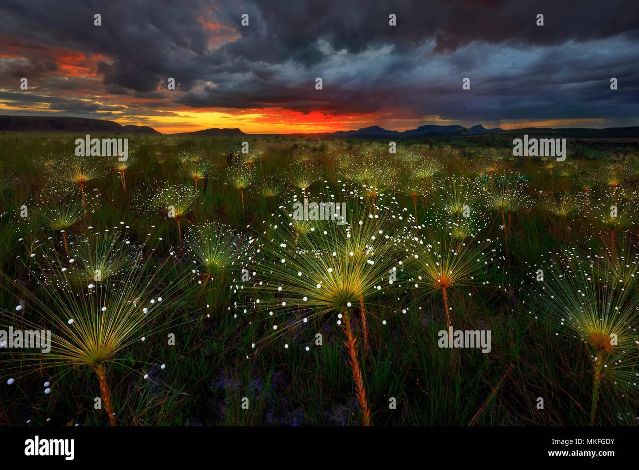 Paepalanthus flowers fireworks (Paepalanthus sp) at sunset, Chapada dos Veadeiros National Park, Brazil - Stock Image