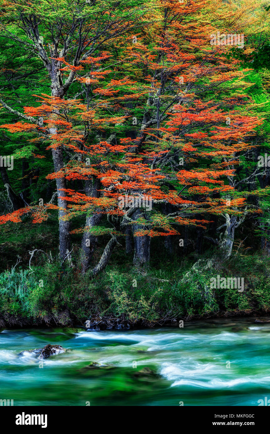 Autumn colors. Patagonic forest at autumn, Patagonia, Argentina - Stock Image