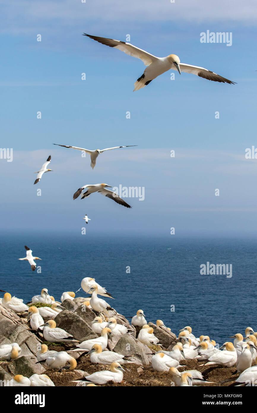 Northern gannet (Morus bassanus) Colony nesting, Saltee islands, Ireland - Stock Image