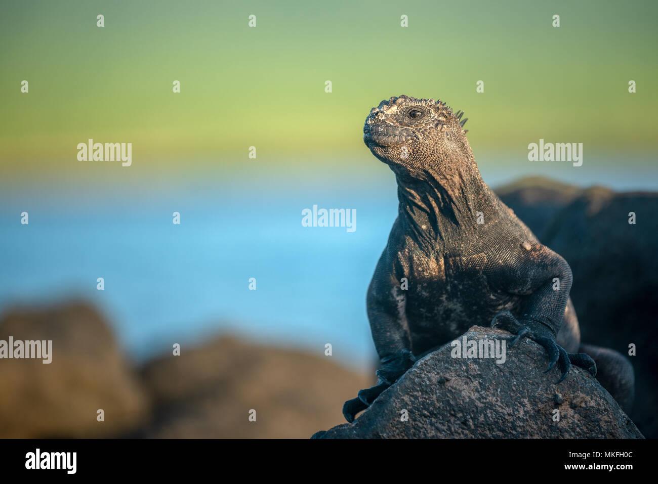 Marine iguana (Amblyrhynchus cristatus) on San Cristobal Island, Galapagos Islands, Ecuador. - Stock Image