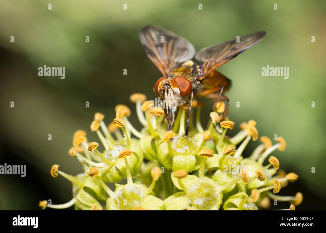 Hoverfly (Phasia hemiptera) licking nectar of ivy, Mont Ventoux, France Stock Photo