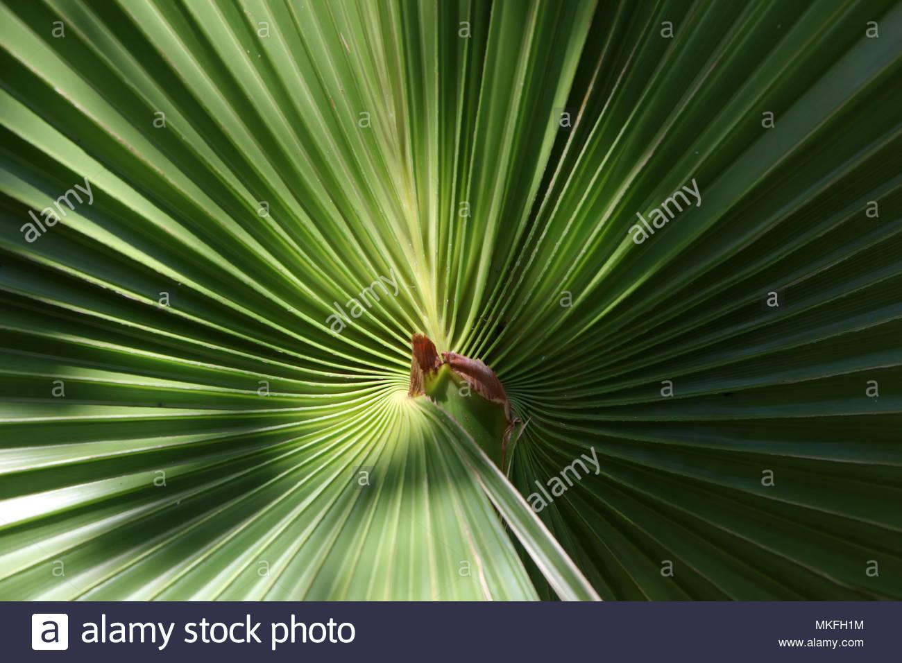 Varadero, Cuba - Close-up of a Cuban palm leaf in Varadero, Cuba. - Stock Image