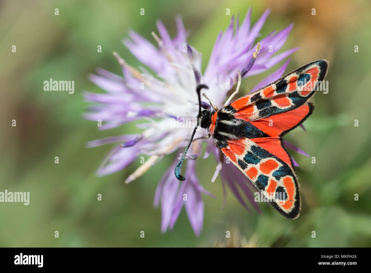 Zygaena (Zygaena fausta) on flower, Mont Ventoux, Provence, France Stock Photo
