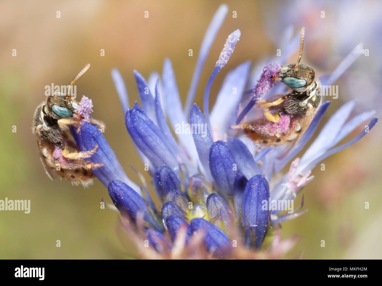 Sweat Bee (Nomioides minutissimus) foraging on jasione, Northern Vosges Regional Nature Park, France - Stock Image