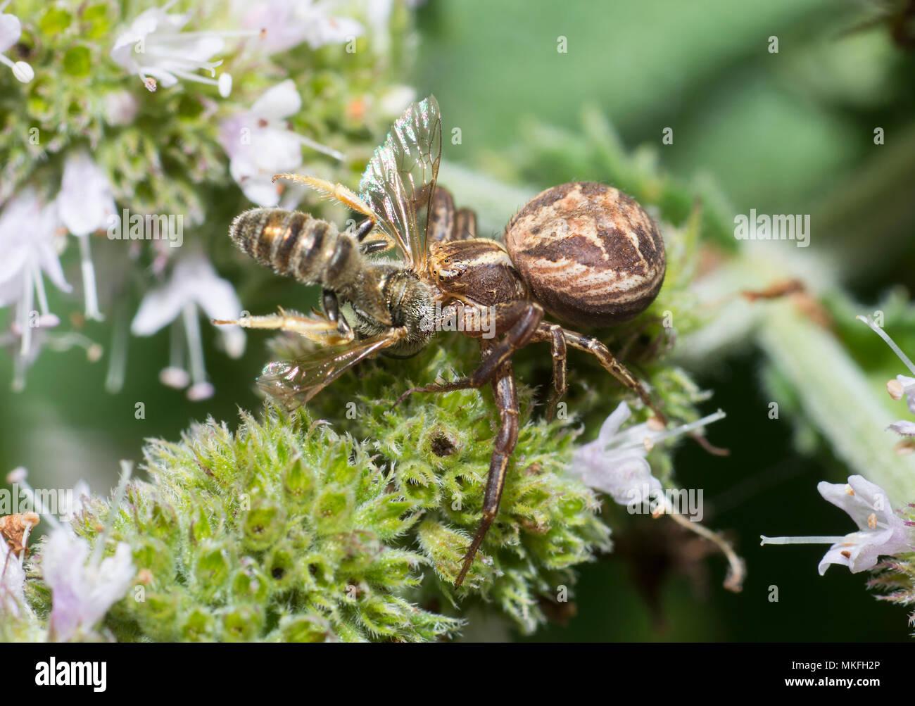 Crab spider (Xysticus bifasciatus) capturing a wild bee (Lasioglossum sp), Regional Natural Park of Northern Vosges, France - Stock Image