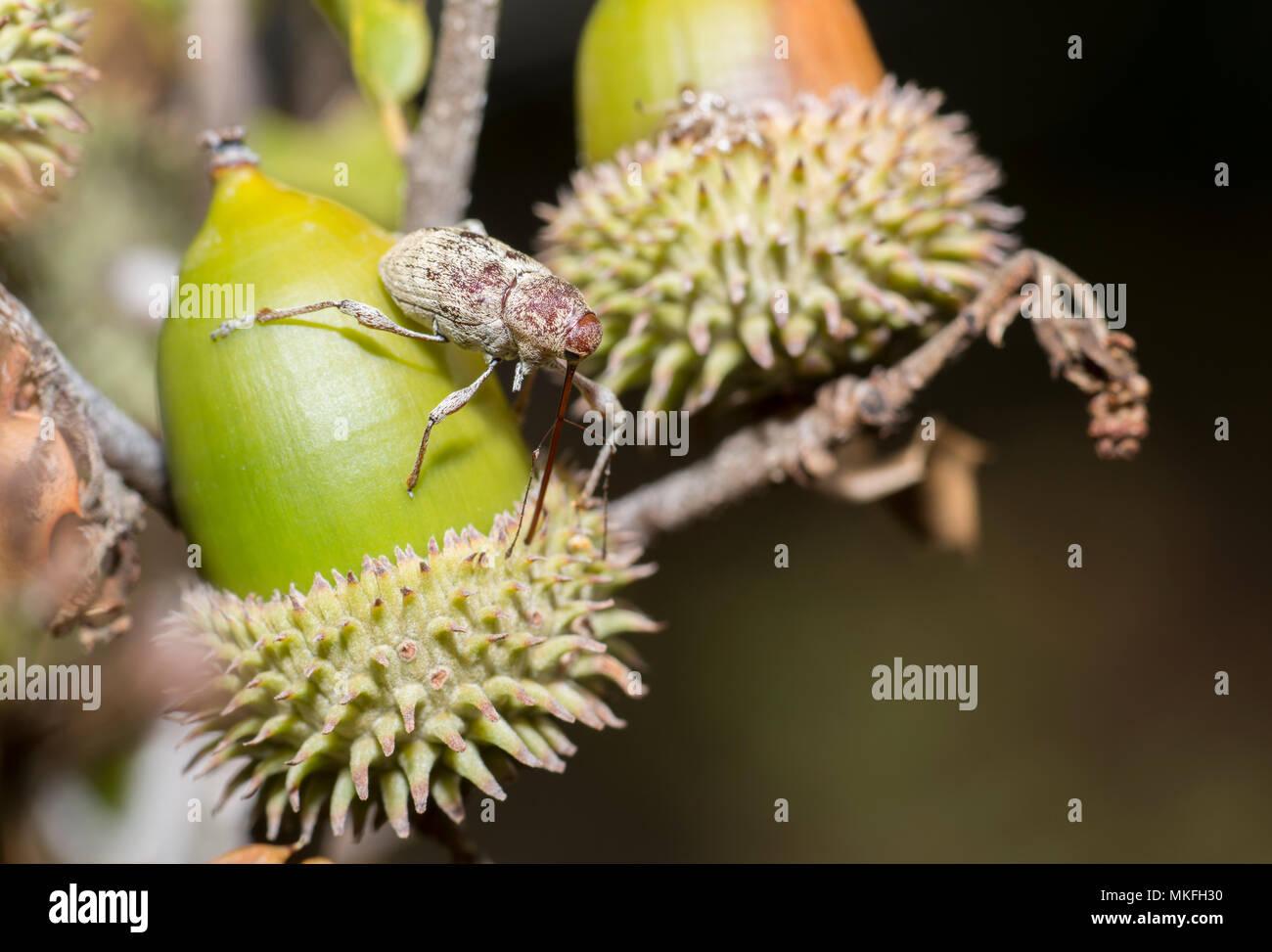 Acorn weevil (Curculio glandium) piercing an acorn of kermes oak (Quercus coccifera), Mercantour National Park, Alps, France - Stock Image