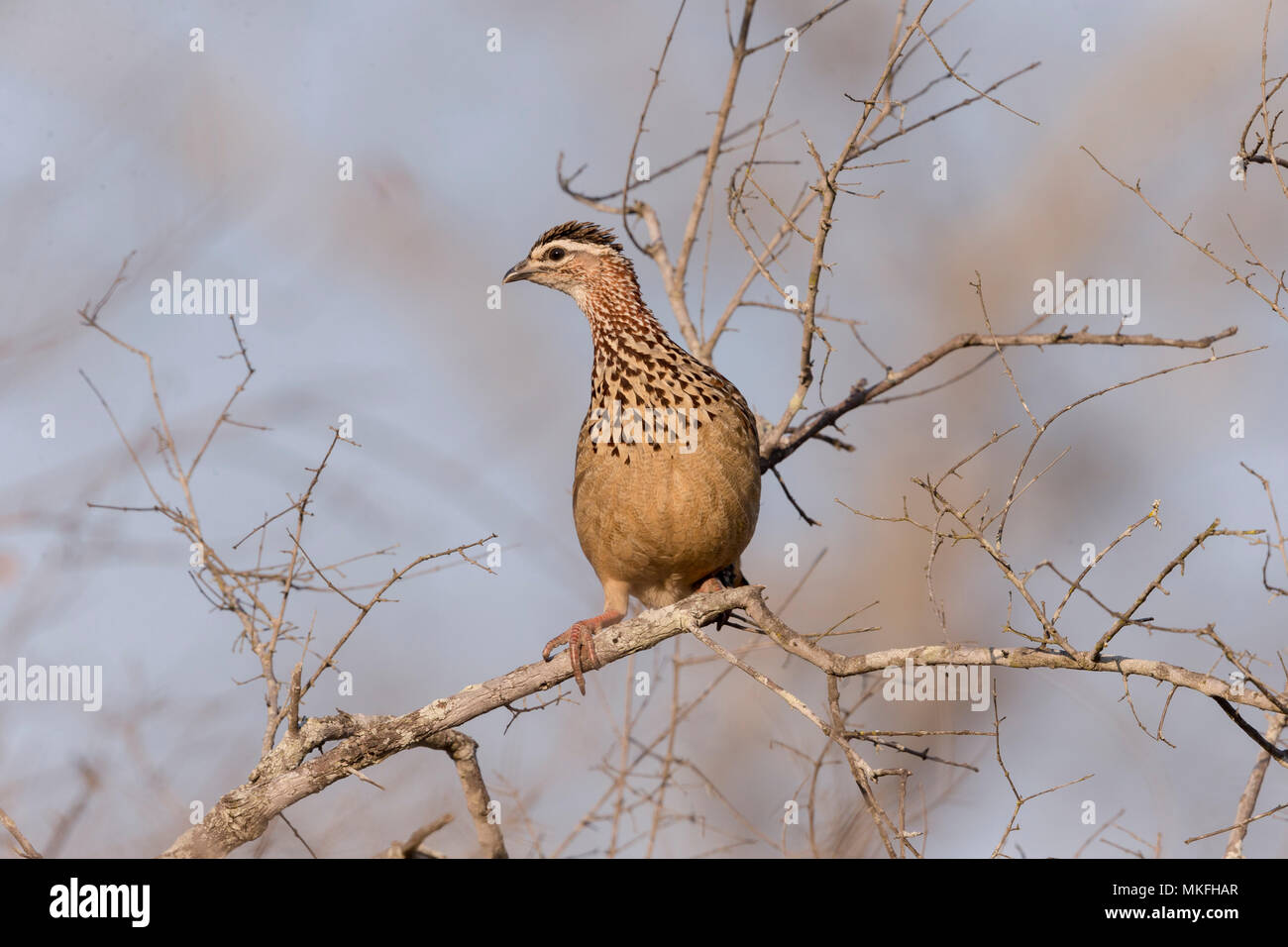 Crested francolin (Dendroperdix sephaena), perched in a tree, Mala Mala game reserve, South African Republic - Stock Image