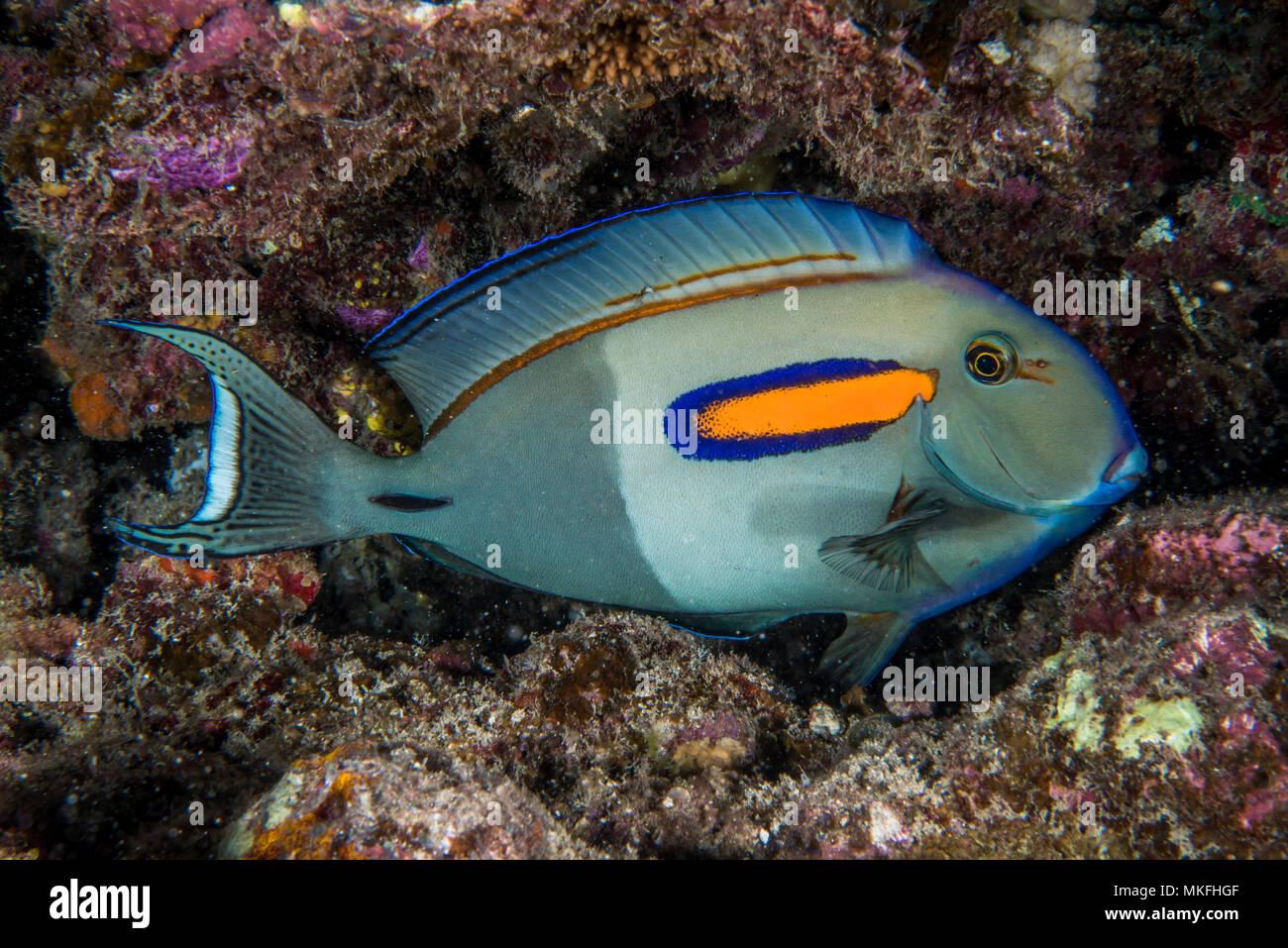 Orangespot surgeonfish (Acanthurus olivaceus) in reef, Tahiti, Polynesie Francaise - Stock Image