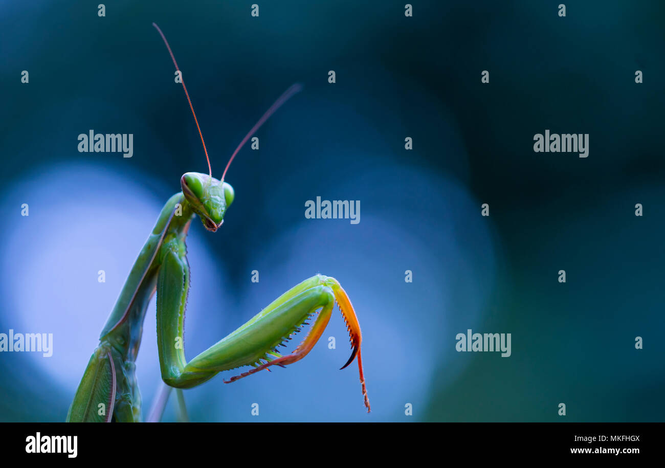 Portrait of Praying Mantis (Mantis religiosa), Cantabria, Spain Stock Photo