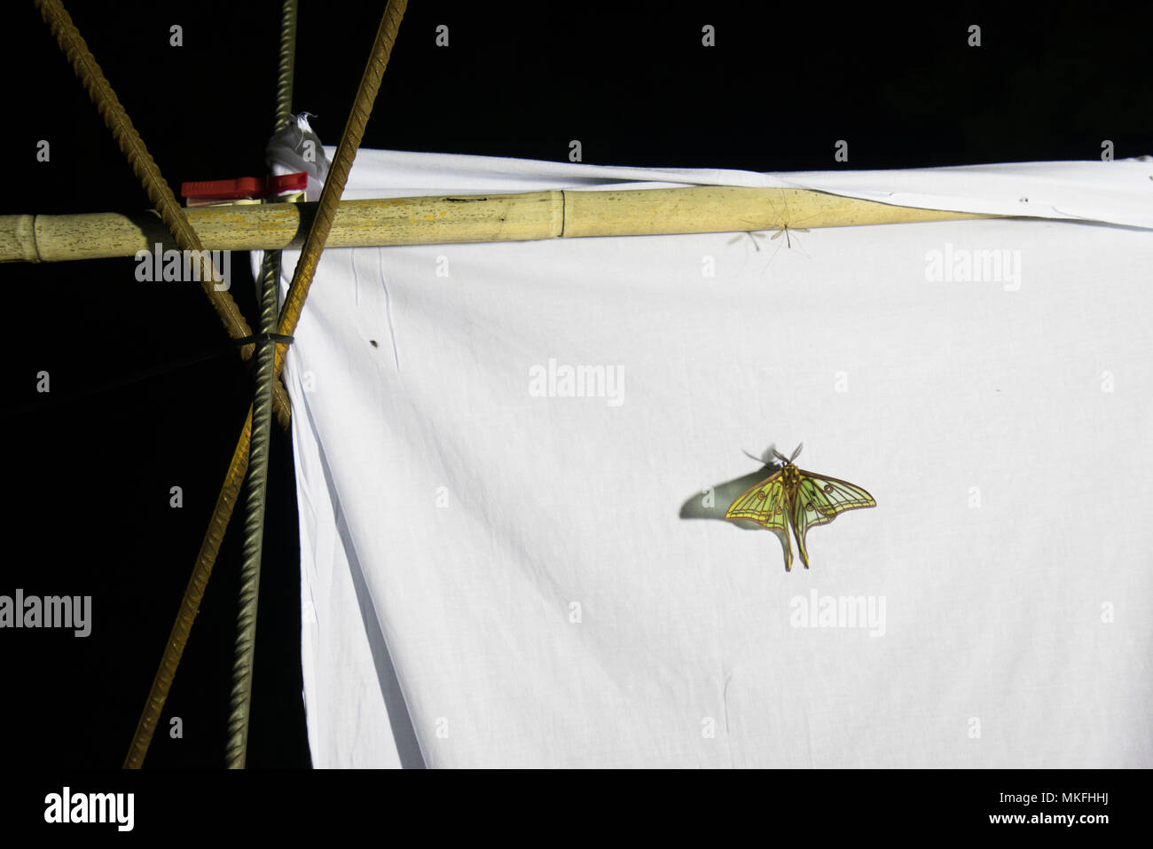 Spanish moon moth (Graellsia isabellae) on Insect trap at night, The Ports Natural Park, Terres de L'Ebre, Tarragona, Catalonia, Spain, Europe Stock Photo
