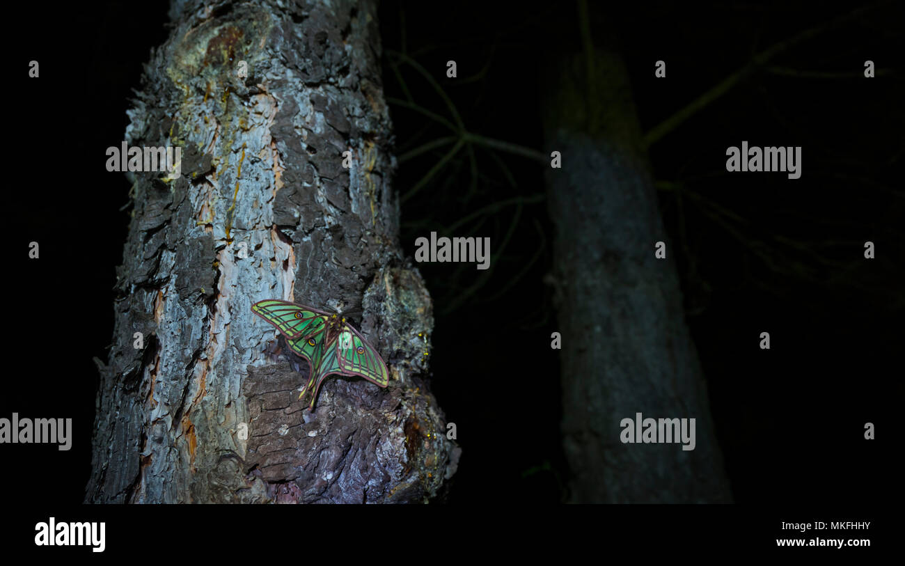 Spanish moon moth (Graellsia isabellae) on trunk at night, The Ports Natural Park, Terres de L'Ebre, Tarragona, Catalonia, Spain, Europe Stock Photo