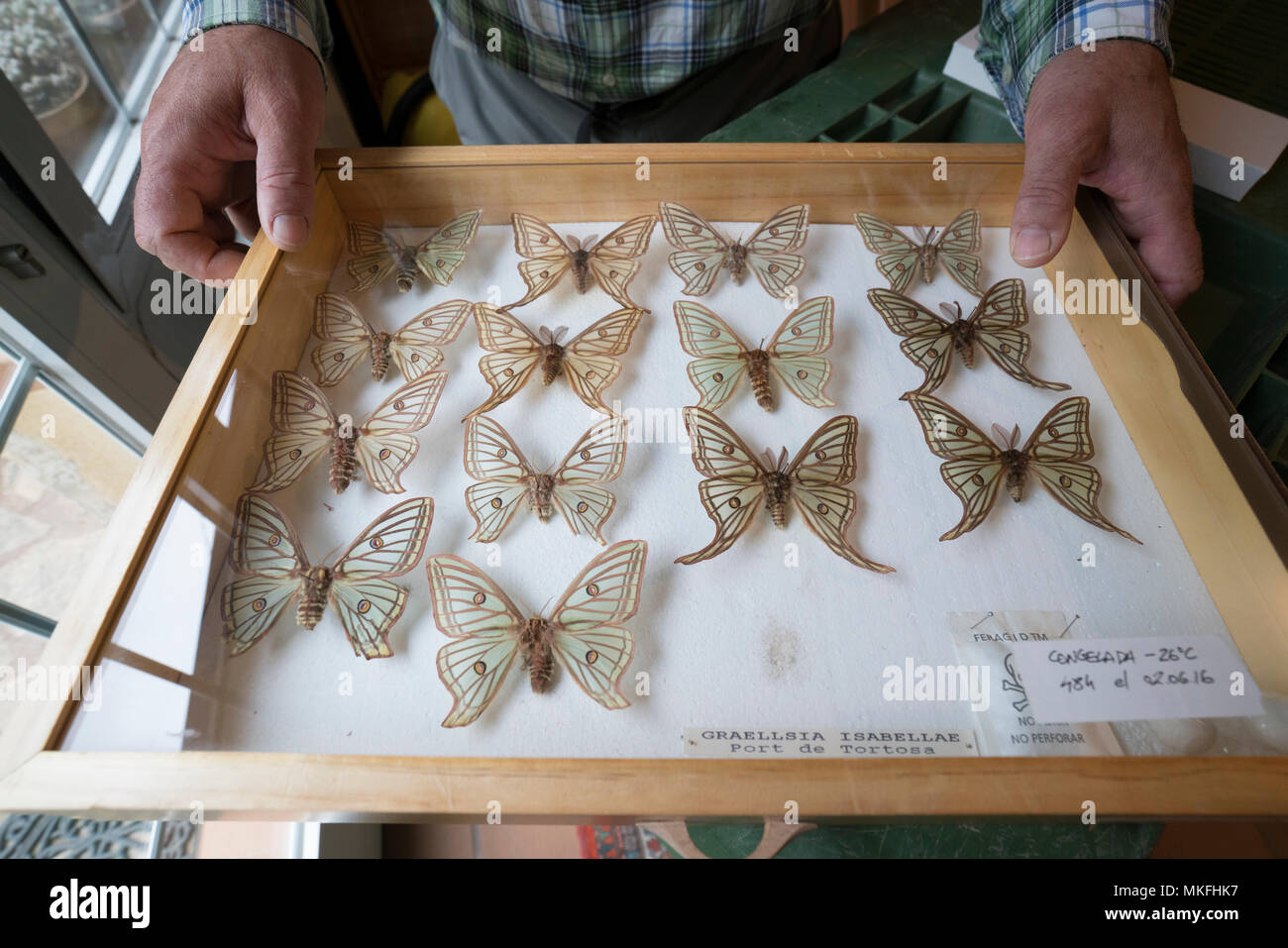 Scientific studies on butterfly Spanish moon moth (Graellsia isabellae), The Ports Natural Park, Terres de L'Ebre, Tarragona, Catalonia, Spain, Europe Stock Photo