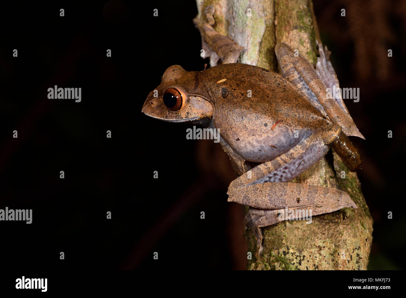 Madagascar Bright-eyed Frog (Boophis madagascariensis) defecating, Andasibe, Perinet, Alaotra-Mangoro Region, Madagascar Stock Photo