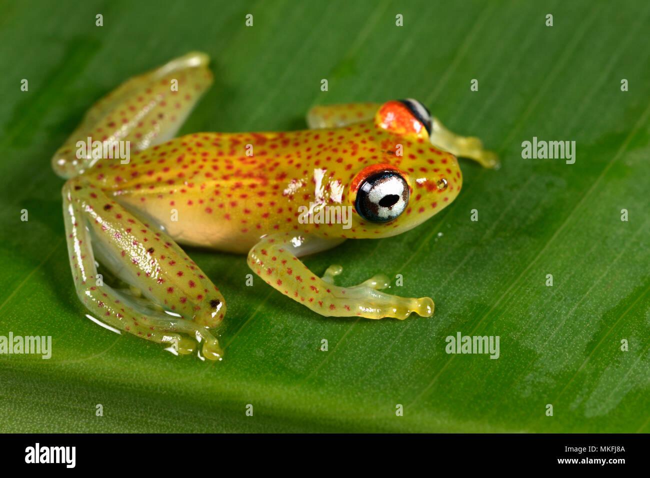 Red-spotted treefrog (Boophis tasymena), Andasibe, Perinet, Alaotra-Mangoro Region, Madagascar Stock Photo