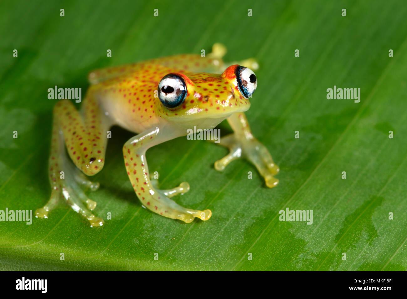 Red-spotted treefrog (Boophis tasymena), Andasibe, Perinet, Alaotra-Mangoro Region, Madagascar - Stock Image