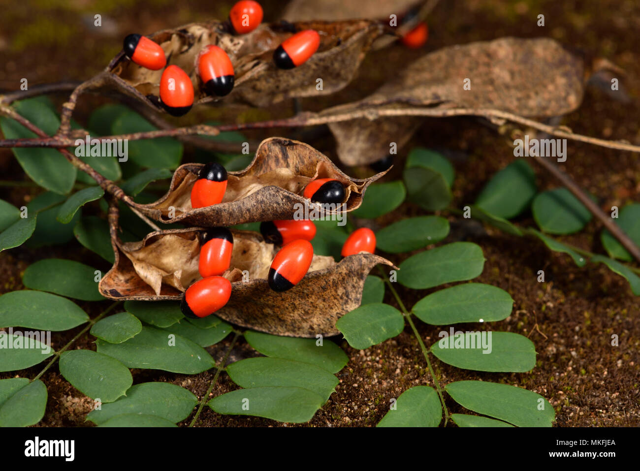 Rosary pea or Paternoster pea (Abrus precatorius), Andasibe, Perinet, Alaotra-Mangoro Region, Madagascar Stock Photo