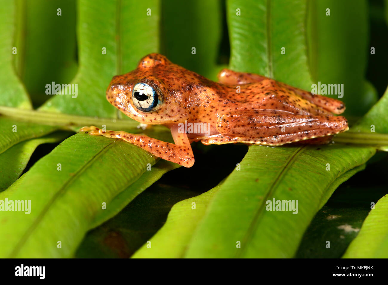 Fiery Bright-eyed Frog (Boophis pyrrhus), Andasibe, Perinet, Region Alaotra-Mangoro, Madagascar - Stock Image