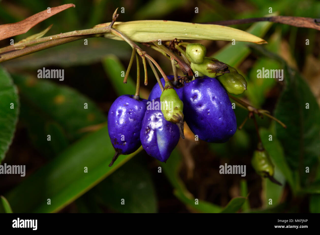 Dianella (Dianella ensifolia) fruits, Andasibe, Perinet, Alaotra-Mangoro Region, Madagascar Stock Photo