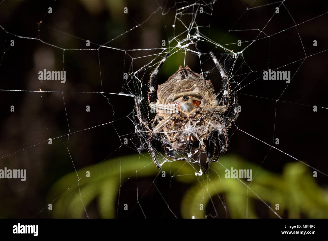 Bark spider (Caerostris extrusa) on his web, Andasibe, Perinet, Alaotra-Mangoro Region, Madagascar - Stock Image
