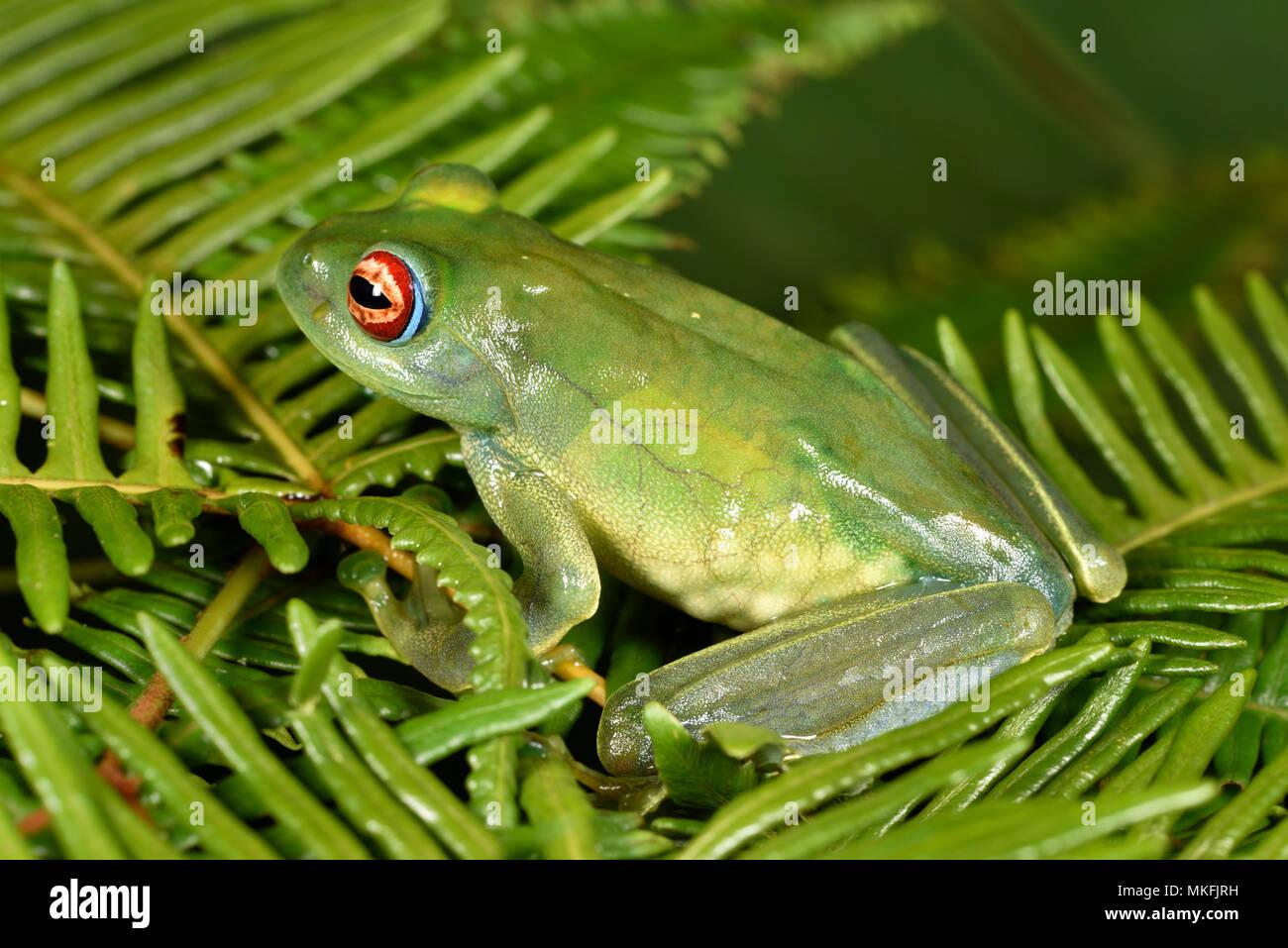 Ankafana Bright-eyed Frog (Boophis luteus) pregnant female, vision of eggs on the side, Andasibe, Perinet, Alaotra-Mangoro Region, Madagascar - Stock Image
